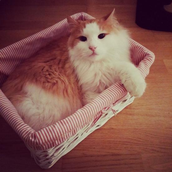 Er det greit at jeg ligger her? #Selma er en rar #katt.